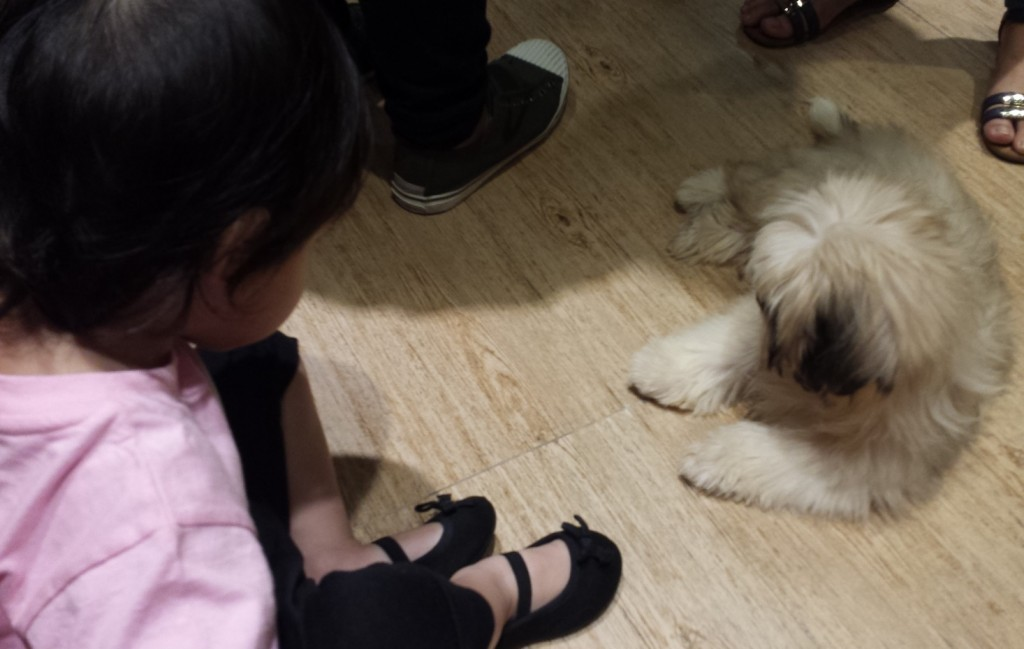 Face to face with Yoda the Lhasa Apso